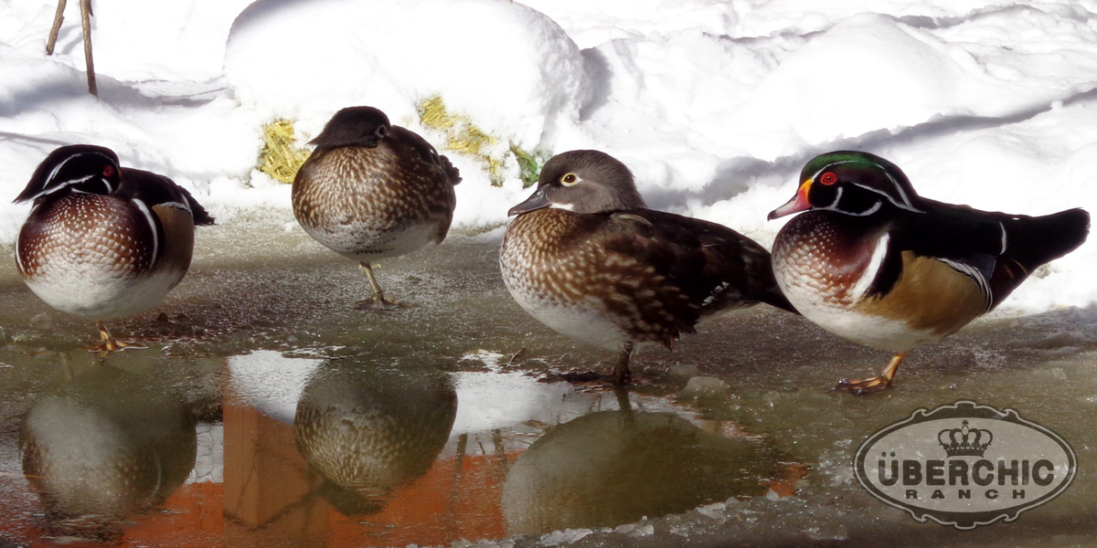 Wood Duck Pairs Winter